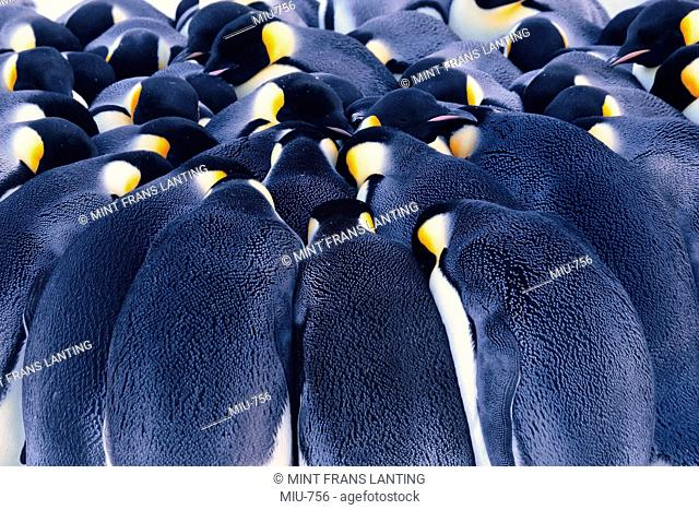 Emperor penguins huddling, Aptenodytes forsteri, Weddell Sea, Antarctica