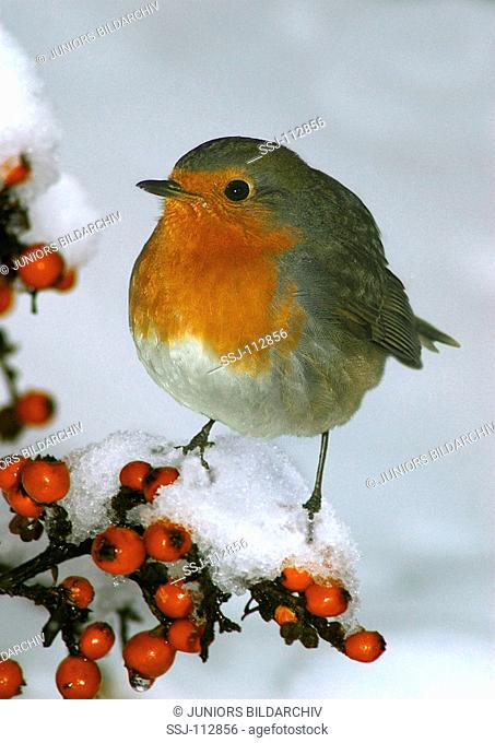 robin on branch with berries - snow