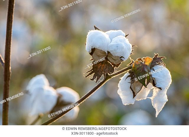 Close up look at fluffy cotton boll ready to be harvested, Tifton, Georgia. USA