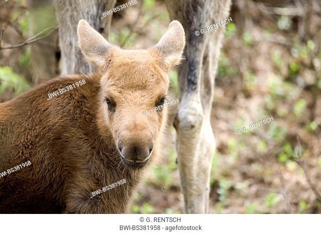elk, European moose (Alces alces alces), portrait of an elk calf, Sweden, Bohuslaen