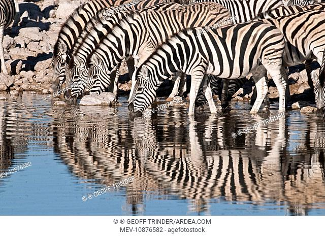 Common zebra - at water hole - group with reflections (Equus quagga). Etosha National Park - Namibia