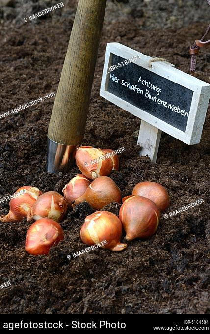 Tulipsonions ( Tulipa spec.) in front of setting, onion