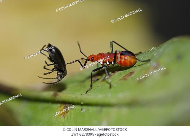 True Bug (Dindymus sp, Pyrrhocoridae Family, Heteroptera Suborder, Hemiptera Order) on leaf with prey (Weevil, Coleoptera Order