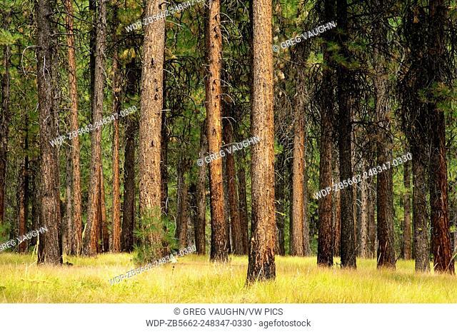 Ponderosa pine trees, Wallowa-Whitman National Forest, Blue Mountains, Oregon