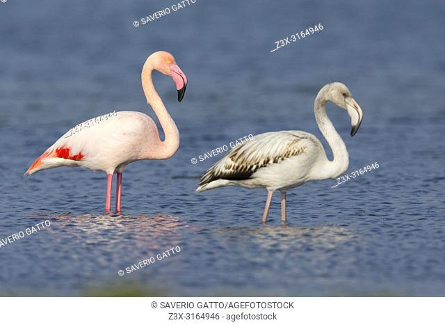 Greater Flamingo (Phoenicopterus roseus), Juvenile and adult standing in the water, Salalah, Dhofar, Oman