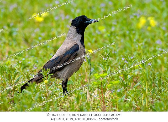 Hooded Crow on the ground, Hooded Crow, Corvus cornix