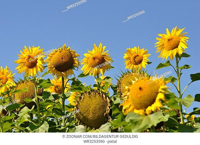 Sonnenblume, mit blauem Himmel, Sonnenblumenfeld
