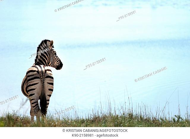 Zebra, Equus quagga, standing at a lake and turning his head, Etosha Pan, Namibia, Africa