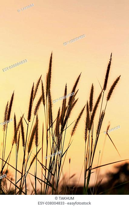 Hairy fountain grass