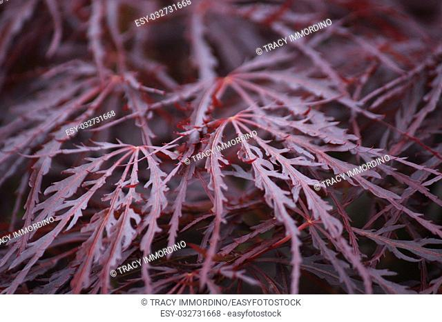 Close up of the leaves of a Crimson Queen Japanese Maple tree using a bokeh effect