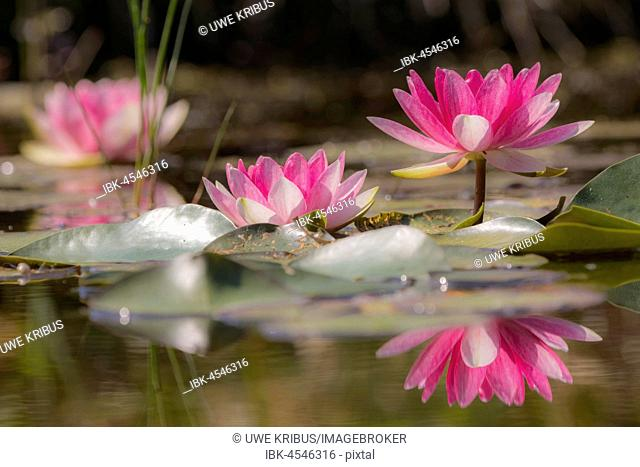 Water lilies (Nymphaea), reflection, garden pond, Oelsnitz in the Vogtland, Saxony, Germany