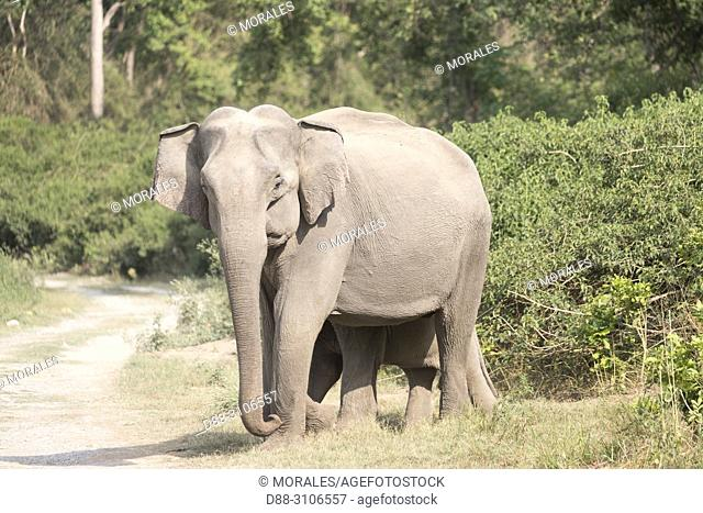 Asia, India, Uttarakhand, Jim Corbett National Park, Asian or Asiatic elephant (Elephas maximus), Mother and baby
