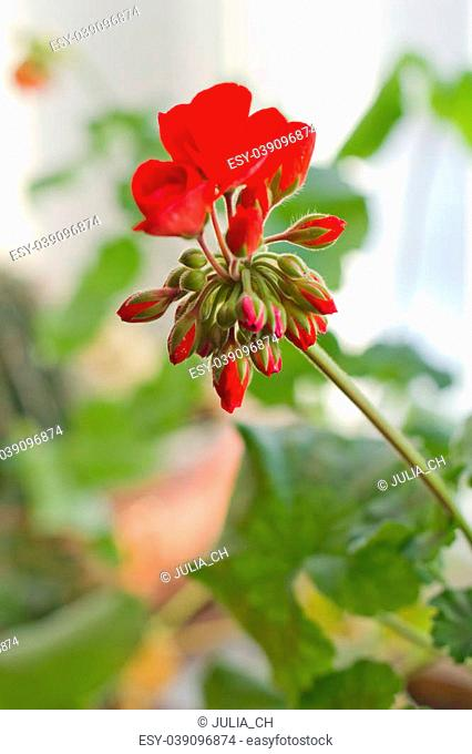red flowers of blossoming pelargonia on green leaves bokeh background