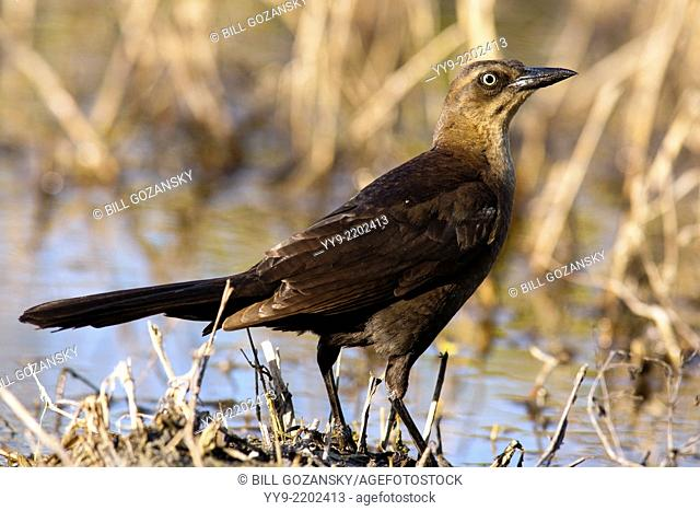 Great-tailed Grackle - Camp Lula Sams - Brownsville, Texas USA