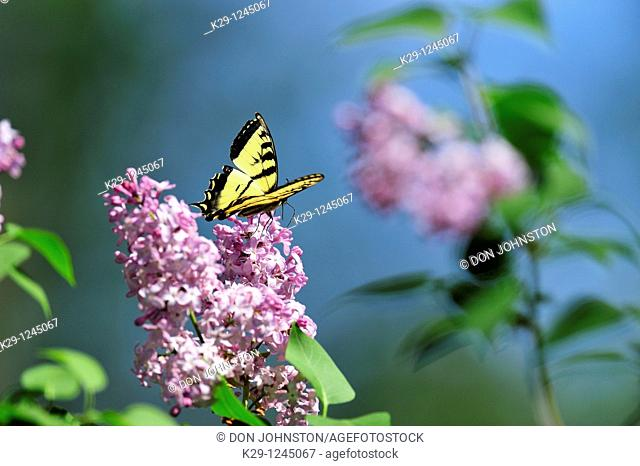 Canadian tiger swallowtail Papilio Canadensis Nectaring on lilac flowers