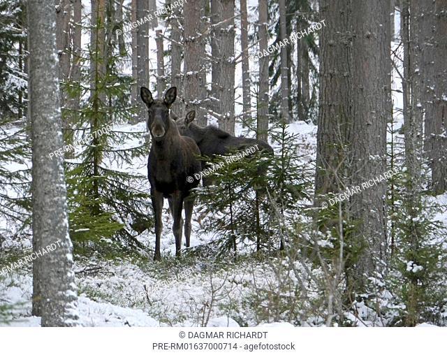 Mooses in winter forest, Dalarnas län, Sweden / Elche im Winterwald, Dalarnas län, Schweden