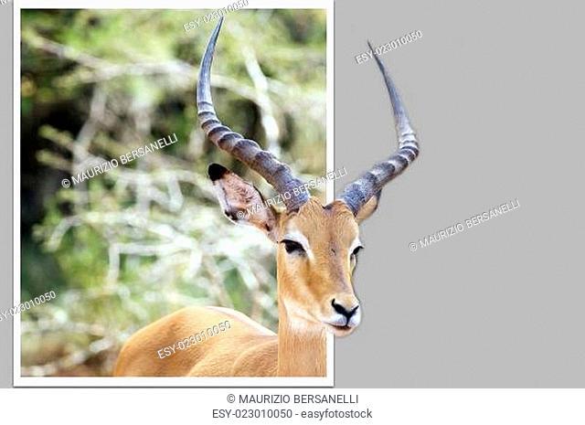 Impala ((Aepyceros melampus)