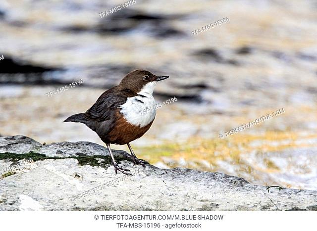 white-throated water ouzel