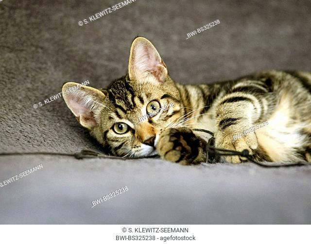 domestic cat, house cat (Felis silvestris f. catus), lying on the carpet playing with a thread, mix of Norwegian forest cat and house cat, Germany