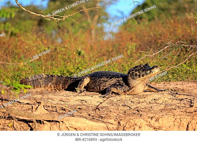 Yacare caiman (Caiman Yacare), adult, on land, sun, Pantanal, Mato Grosso, Brazil