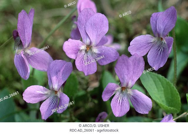 Heath Dog Violet Lower Saxony Germany Viola canina