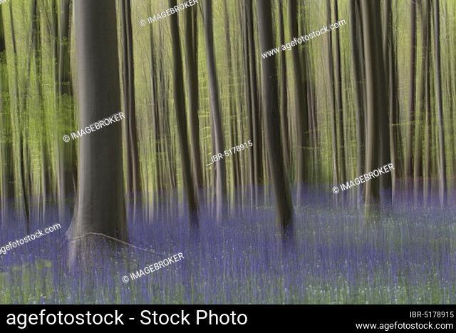 Bluebells (Hyacinthoides non-scripta) flowering in beech forest, Hallerbos, Halle, Vlaams-Brabant, Belgium, Europe