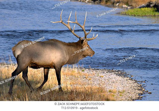 Bull elk crossing the Fire Hole River in Yellowstone