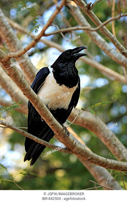 Pied Crow (Corvus albus), adult perched in a tree, cawing, Berenty Game Reserve, Madagascar, Africa