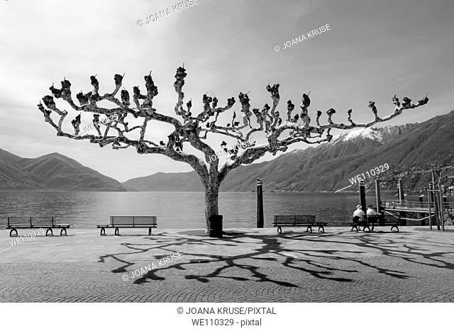 sycamore trees in Ascona - Ticino
