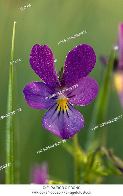 Wild Pansy Viola tricolor close-up of flower, Piatra Craiulu Mountains N P , Southern Carpathians, Transylvania, Romania