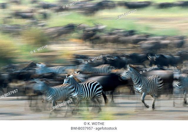 blue wildebeest, brindled gnu, white-bearded wildebeest (Connochaetes taurinus), running herd with zebras, Tanzania, Serengeti National Park