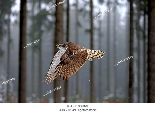 Northern Goshawk, (Accipiter gentilis), adult in winter in snow flying, Zdarske Vrchy, Bohemian-Moravian Highlands, Czech Republic