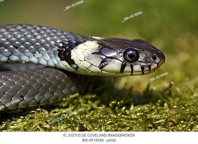 Young grass snake (Natrix natrix), Schleswig-Holstein, Germany