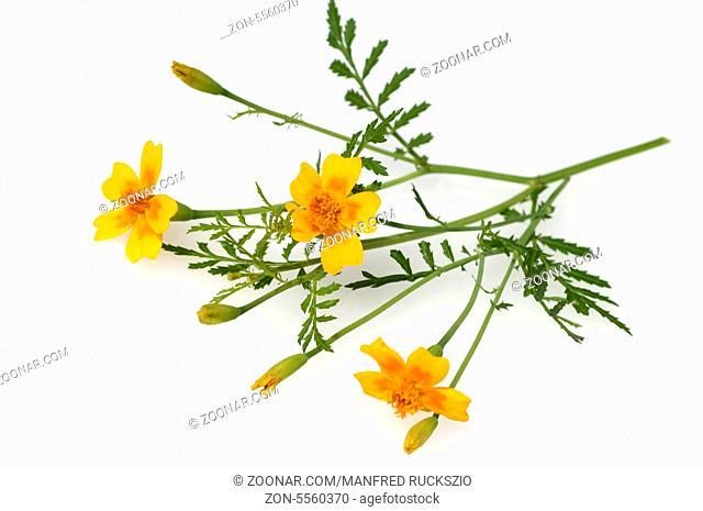 Gewuerztagetes, Tagetes tenuifolia, Heilpflanzen, -