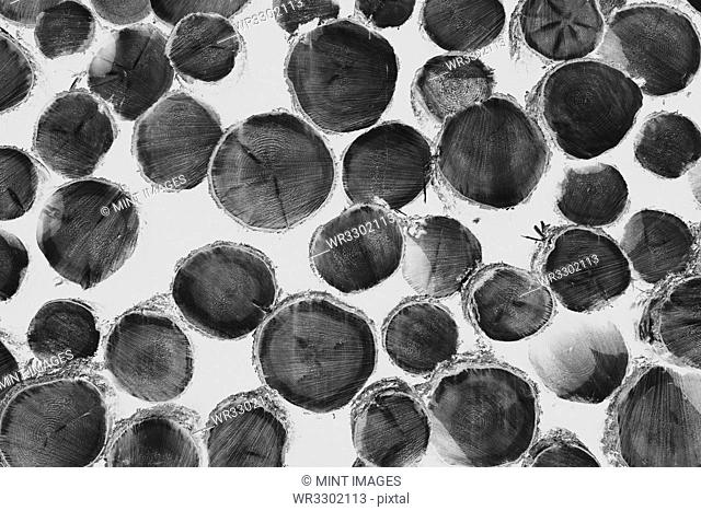 Black and white inverted image of pile of logged fir, hemlock and spruce trees