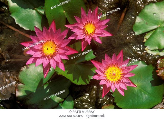 Tropical Water Lily (Nymphaea 'Shirley Bryne', New Jersey