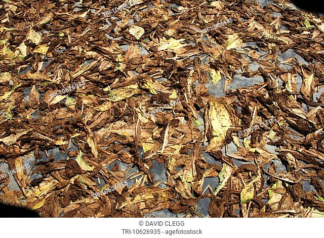 Poor quality tobacco leaves laid out in the sun to dry to be sold in local markets,Sakra Lombok Barat NTB Indonesia