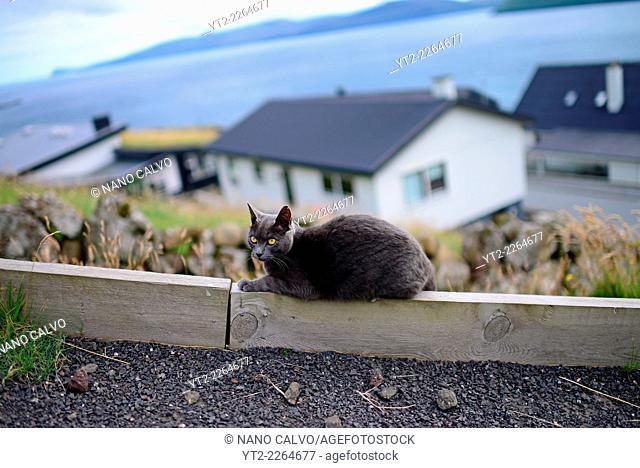 Playful grey cat in streets of Velbastaður, Faroe Islands