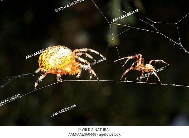 Marbled Orb Weaver m. & f. (Araneus marmoreus) in web