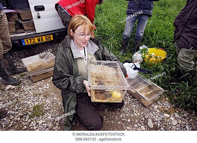 Reintroduction of the big hamster (Cricetus cricetus). Elsenheim. Haut-Rhin. Isabelle Losinger, head of the project. Under the protection of the association...