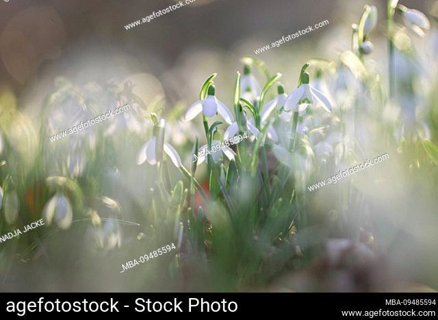 Snowdrop, Galanthus, close-up