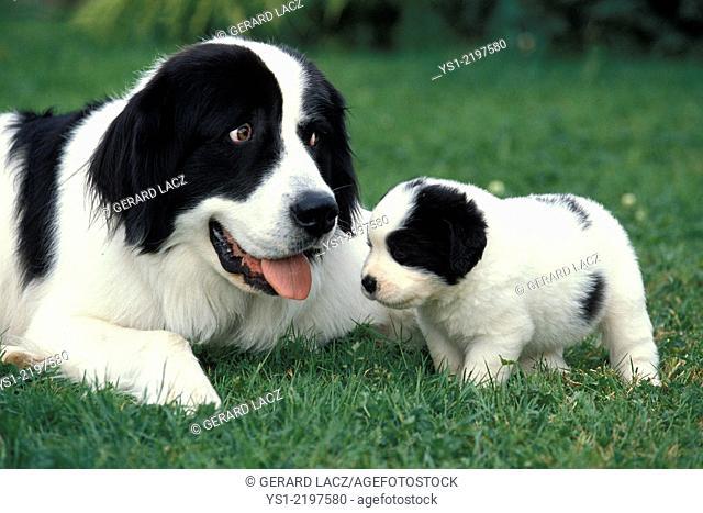 Landseer Dog, Mother and Pup