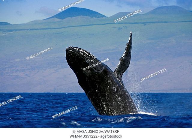Breaching Humpback Whale, Megaptera novaeangliae, Kona Coast, Big Island, Hawaii, USA