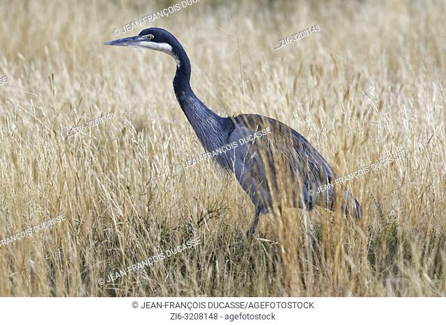 Black-headed heron (Ardea melanocephala), walking adult, in the high dry grass, looking for prey, Mountain Zebra National Park, Eastern Cape, South Africa