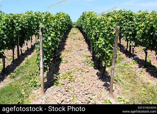 Weinanbau im Rheingau