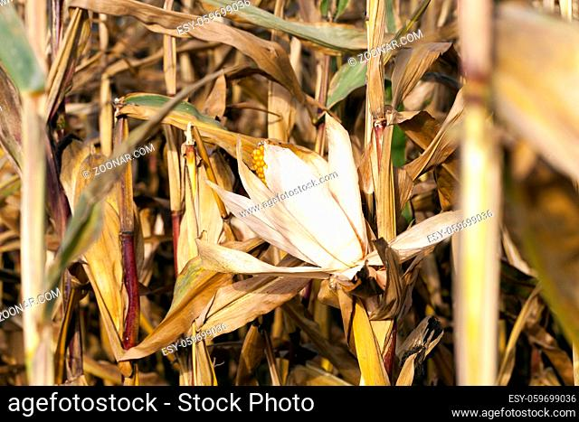 small agricultural field where dry maize is grown. Autumn season, the corn is ripe and ready for harvest. Photo taken closeup with a small depth of field