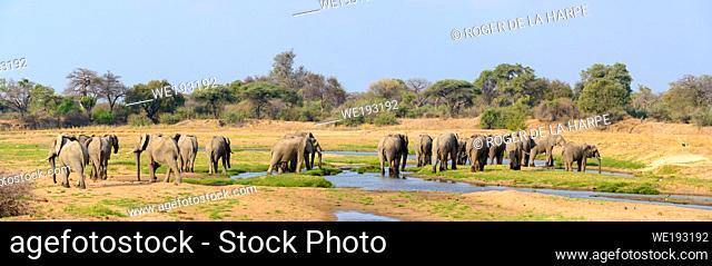 African bush elephant (Loxodonta africana). Ruaha National Park. Tanzania