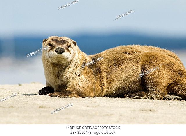 River otters inhabit Sidney Island in Gulf Islands National Park, British Columbia, Canada