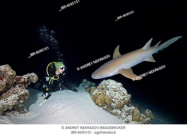 Female scuba diver looks at shark in the night, Tawny nurse shark (Nebrius ferrugineus), Indian Ocean, Maldives