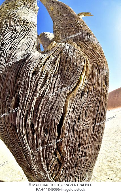 Detailed view of the trunk of a dead acacia in Dead Vlei, taken on 01.03.2019. The Dead Vlei is a dry, surrounded by tall dune clay pan with numerous dead...
